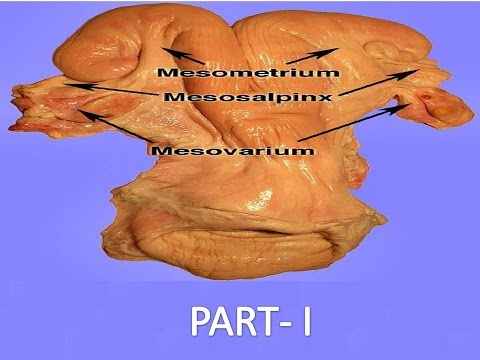 Cow Reproductive System Part I - YouTube