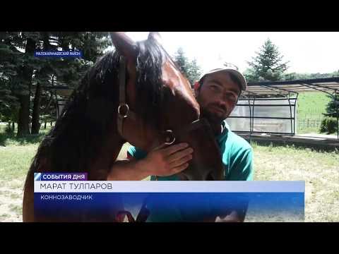 «Федерация карачаевской породы лошадей» начала бонитировку животных