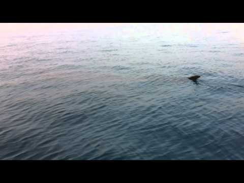 Whale Shark Spotted in Bahrain (Part 2)