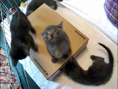 Foster Kittens Go Crazy Over A New Box