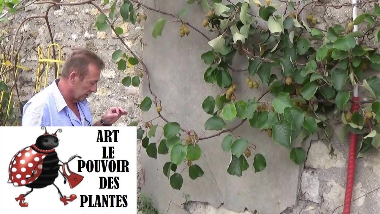 chaine de jardin: kiwi (actinidia) comment faire une bouture: un