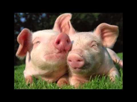 deux petits cochons se font des calins youtube. Black Bedroom Furniture Sets. Home Design Ideas
