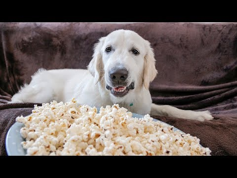 Funny Golden Retriever Dog Bailey Makes and Eats Popcorn!