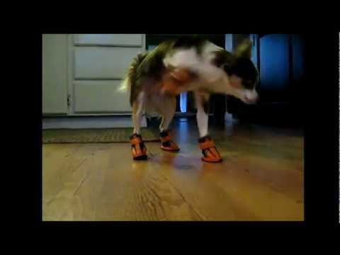 Dogs Wear Shoes For The First Time