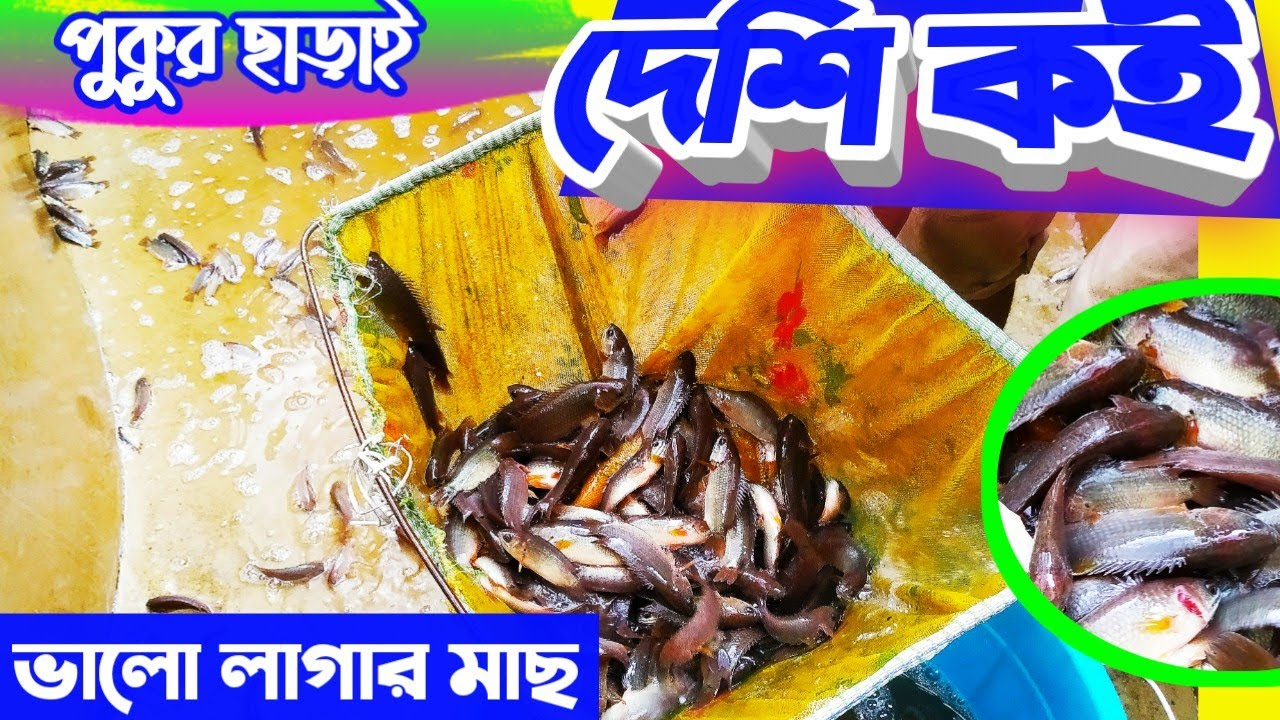 সহজেই BIOFLOC  // দেশি কই মাছ মাছের আপডেট //  Biofloc Fish Harvesting