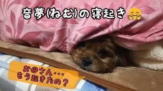 三姉妹犬 #mix小型犬 #寝起き #あくび #身だしなみ #マルキー #マルチー...