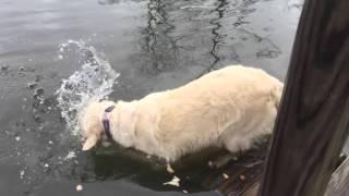 Собака, которая умеет вылавливать рыбу зубами