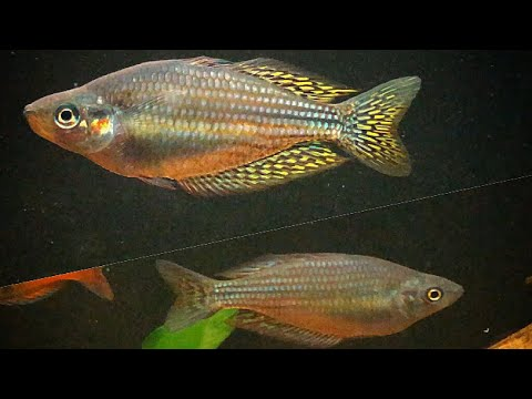 MALE OR FEMALE AUSTRALIAN RAINBOW FISH? DO I HAVE A MATING PAIR...