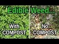 Even Weeds Grow Better With Compost! Purslane With Compost vs No Compost