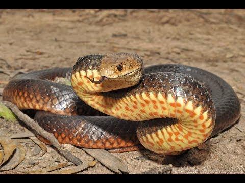Самая Опасная Среди Смертельно Опасных Змей В Мире- Сетчатая Коричневая Змея!!!