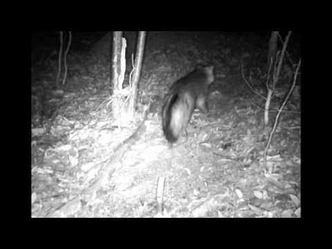What am I?  Can you help identify this animal? Fox, Fisher Cat or other
