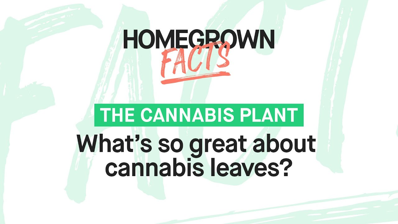 Everything There is to Know About Cannabis Leaves