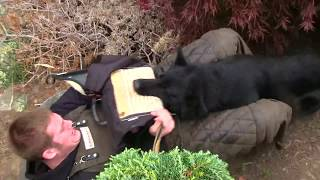 Kraftwerk K9 German Shepherd powerful protection dog training!
