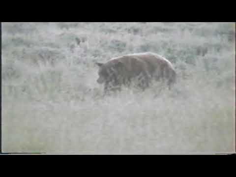 Yellowstone 1992 #6 Bear