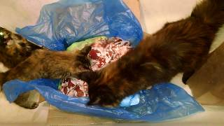 Чем кормят Мейн кунов. Was für ein Fleisch mag Maine Coons.How the meat loves the Maine Coon