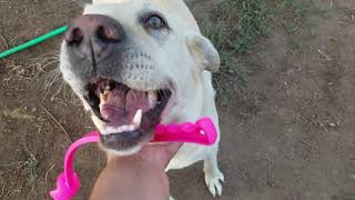 The Life Of A Labrador Retriever Dog Owner Playing Fetch With The Ball 8 22 19 🐕🐶🙏🕊💚💕💖