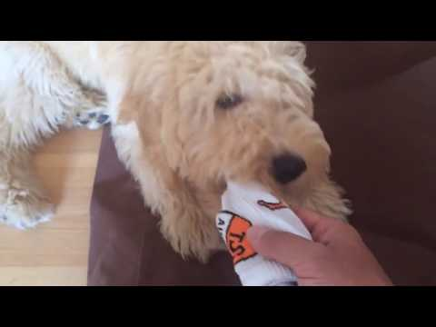 Goldendoodle Balou movie from 3 to 6 month