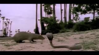 King Cobra attacks baby mongoose (HD 1080P)