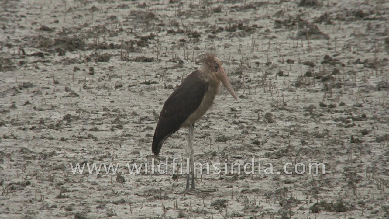 3b3f1817078 Birds of Sundarban: Lesser adjutant stork and Red jungle fowl - YouTube