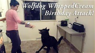 Wolfdog Whipped Cream Birthday Attack!