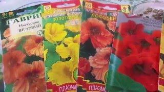 Без рассадный способ выращивания настурции. Посев пророщенными семенами.