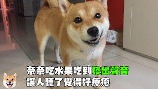 【柴犬Nana(奈奈)】吃蘋果發出可愛的聲音 讓人覺得好療癒