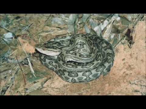 猛毒の沖縄ハブ - Venomous Okinawa Habu