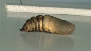 линька гусеницы Deilephila elpenor  (ускорение 64х)