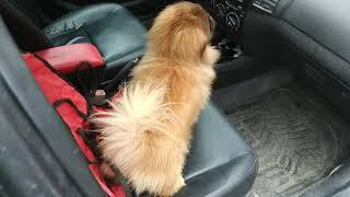 Пекинес Дендик ходил к ветеринару