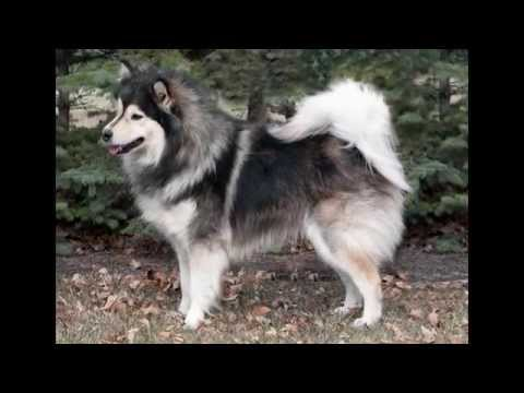 Финский Лаппхунд/Finnish Lapphund (порода собак HD slide show)!