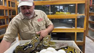 HUGE Reticulated Python Clutch!!
