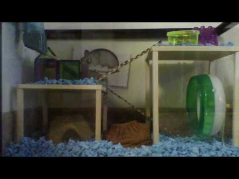 Pickles in her fish tank hamster habitat youtube for Fish tank for hamster