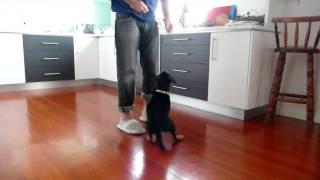 2 Month Old Puppy Labrador X Rottweiler Tricks