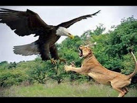 Lion Animal Wallpaper اقوى مقاطع افتراس الحيوانات جديد الأسود التماسيح