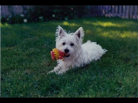 West Highland White Terrier, Westie Dog Family Tribute