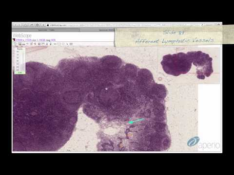 Histology Helper - Lymphoid Tissue Histology