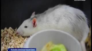 В Казани открылась выставка декоративных крыс