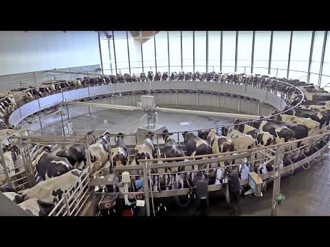 2.250 koeien, grootste melkveebedrijf van Nederland; een rondleiding van René en Amber van Bakel.