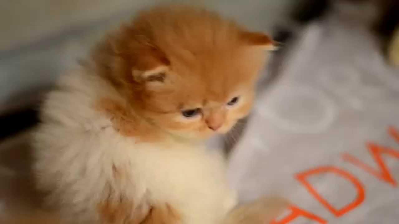 Persian Kittens In Dubai Youtube