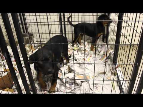 Rottweiler/Lab Mix Puppies