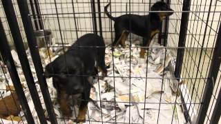 Rottweiler/lab Mix Puppies