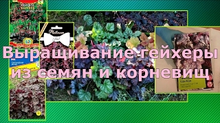 видео Выращивание гейхеры