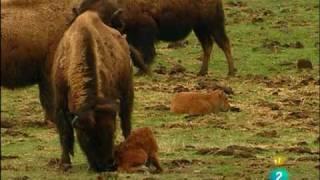 Video documentales de la 2 tve una bisonte se murio en el intento de parir wladi73 download MP3, 3GP, MP4, WEBM, AVI, FLV September 2018