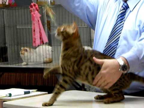 Beautiful Ocicat at a Cat Show in Santa Rosa, California