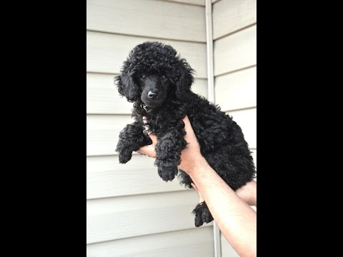 Miniature Poodle Puppy Playing Fetch - 9 weeks old - 2017