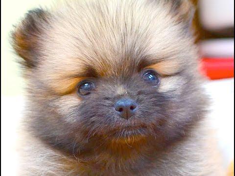 ペットコミュニティ花鳥園の子犬子猫動画 Pomeranian puppy video
