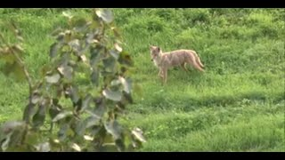 Should I Shoot a Coyote While Deer Hunting?
