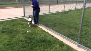 Snyder - Young Adult Beagle-terrier - Male