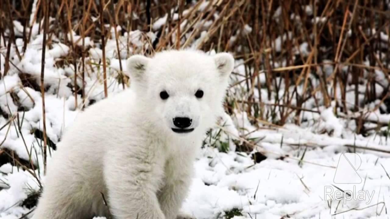 белый медведь красная