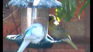BUDGIE SURVIVES IN THE WILD